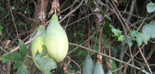 Frutos en los humedales de bogot fundaci n humedales bogot for Viveros frutales bogota